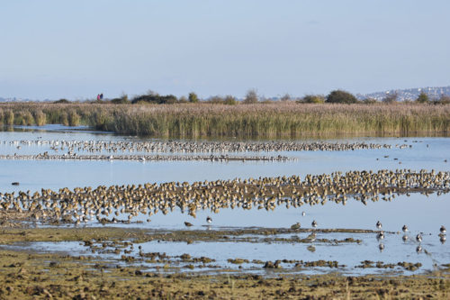 Waders at Oare Marshes