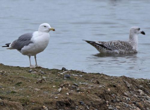Caspian Gull RSPB Dungeness