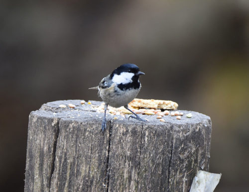 Coal Tit on Fence Post