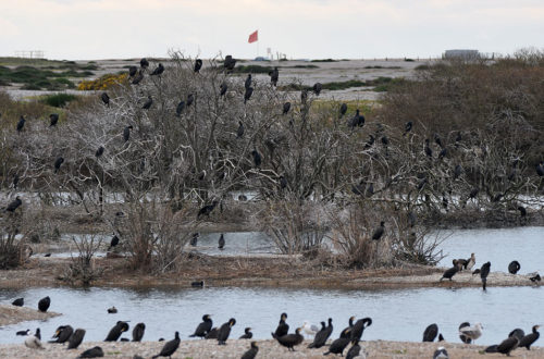 Cormorants on Trees