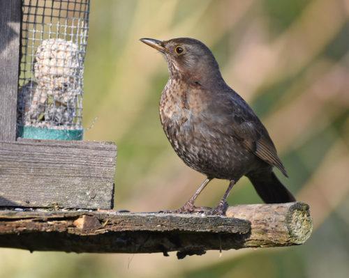 Female Blackbird at Fat Balls