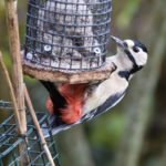 Great Spotted Woodpecker at Fat-Balls