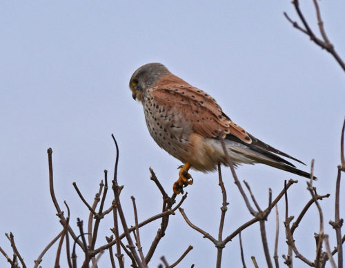 Kestrel watching from tree