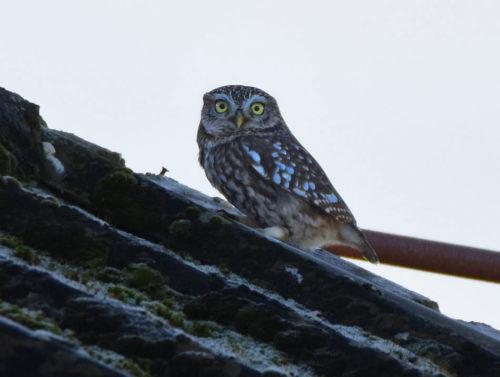 Little-Owl-Romney-Marshes