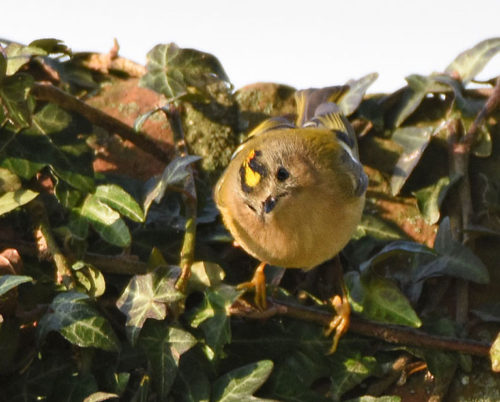 Goldcrest on Wall