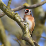 Goldfinch in January