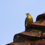 Grey Wagtail on Roof