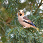 Male Hawfinch at Godmersham Kent