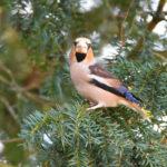 Male Hawfinch at Godmersham Kent