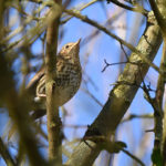 Mistle Thrush Godmersham