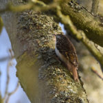 Treecreeper at Godmersham