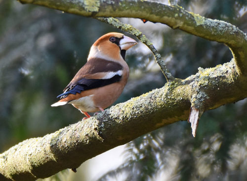 Male Hawfinch on Yew