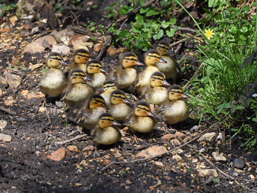 Mallard ducklings in April