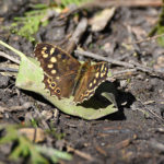 Speckled Wood in April