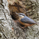 Nuthatch building Nest