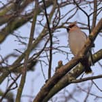 Waxwing at Totten