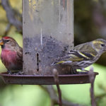 Male and female Redpolls
