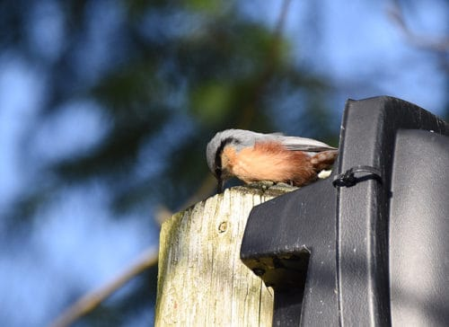 Nuthatch in January