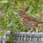 Song Thrush in January