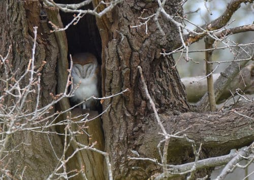 Barn Owl at Titchfield