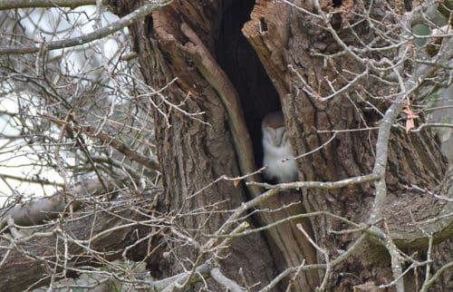 Barn Owl Tichfield Canal
