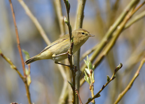 Willow Warbler at Titchfield Canal