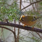 Goldcrest Forest of Bere