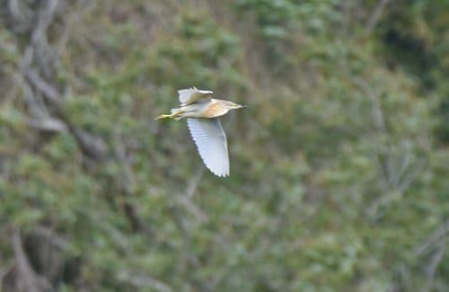 Squacco Heron Posbrook Flood