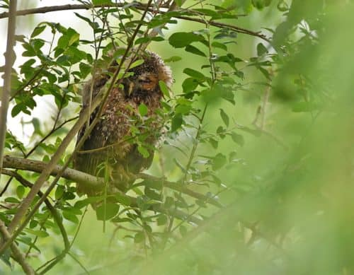 Juvenile Tawny Owl