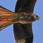 Red Kite from below