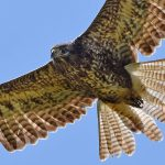 Common Buzzard close up