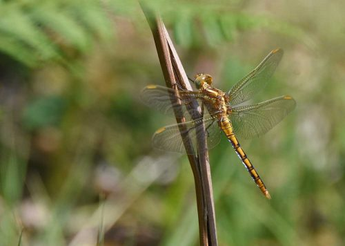 Keeled Skimmer - Burley New Forest