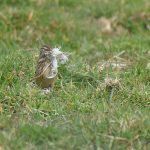 Linnet collecting nesting - Warsash
