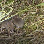 Field Mice - Claylands - Bishops Waltham