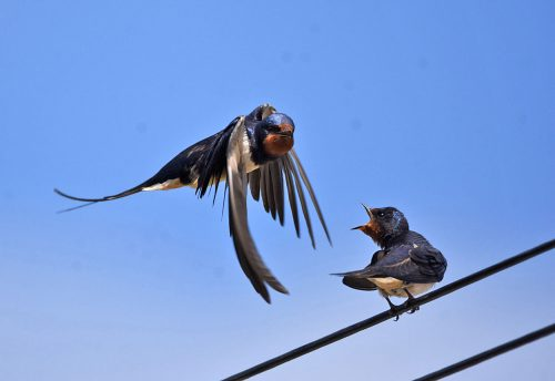 Swallow feeding it's young