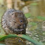 Water Vole - Titchfield Haven