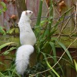 White Squirrel - Chilham Kent