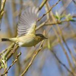 Willow Warbler - Titchfield Canal