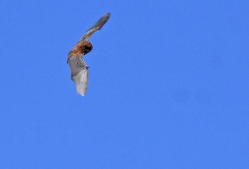 Serotine Bat gliding