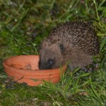 Hedgehog eating meat cat food