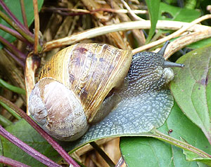 Large Snail on Leaf UK