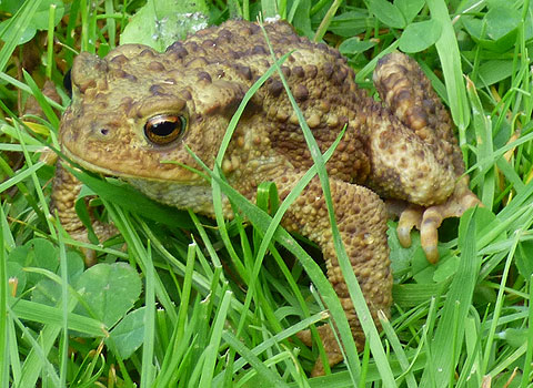 Young Toad crossing the grass
