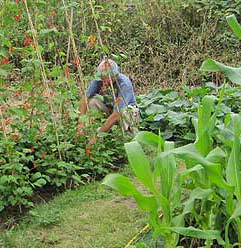 Weeding the Runner Beans